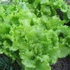 1 libra semillas de lactuca sativa ( lechuga black seeded simpso