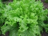 10 gramos semillas de lactuca sativa ( lechuga black seeded simp