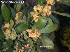 10 semillas de laurus nobilis (laurel noble)