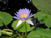 10 semillas de nymphaea capensis purple (nenufar purpura)