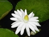 10 semillas de nymphaea juno white (nenufar blanco)