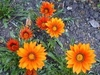 27 semillas gazania splendens strip and plain mezcla flor grande