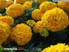 40 semillas tagetes erecta, zempasuchitl frances doble bonanza m