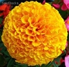 5 millares semillas de tagetes erecta marigold marveolous orange