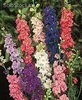 50 semillas delphinium ajacis enano magic fountain mezcla 9 colo