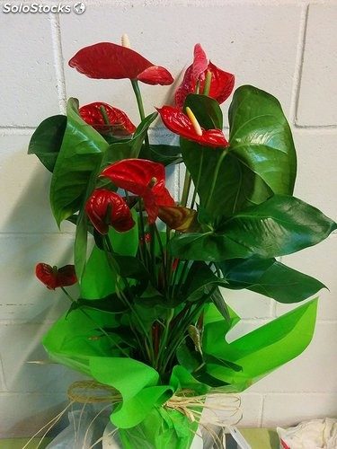 Anthurium rojo natural, en maceta decorativa, planta natural a domicilio…
