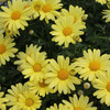 Argyranthemum frutescens - Margarita de colores - Maceta de...