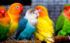 Birds - Parrotlets,Finches ,Budgies (Parakeets) ,Lovebirds ,Canaries.