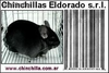 Chinchillas Reproductores de maxima calidad