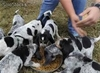 Dogs and puppies for new homes - Foto 2