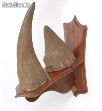 Elephant Tusks and Rhino Horn available for sale