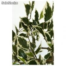 FICUS HAWAI H 2 100 uniquement Sans cache pot