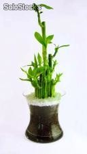 Lucky Bamboo y Bonsai: Vivero Productor