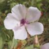 Malvavisco común - Althaea officinalis - Sobre de semillas
