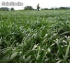 Pasto Ryegrass Sanson Plus