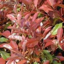 Prunus lauro ceraso Photinia red Robin e Lauro Nobilis (Alloro)